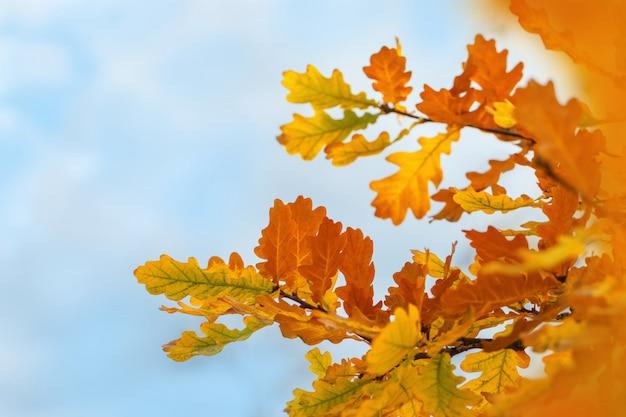 Feuilles de chêne d'automne contre le ciel bleu. fond automnal naturel. mise au point sélective.