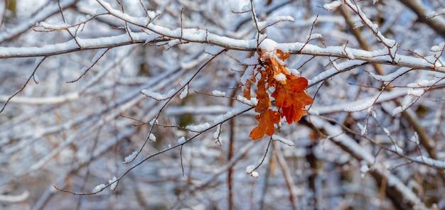 Feuilles de chêne flétries sur une branche d'arbre couverte de neige dans la forêt d'hiver, fond d'hiver