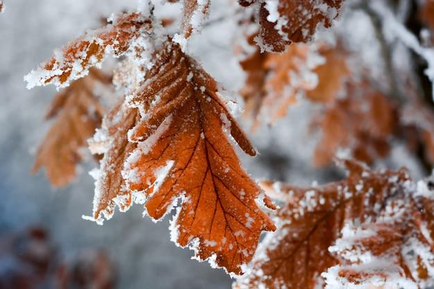 Feuilles de chêne gelées couvertes de givre sur l'arbre