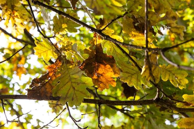 Feuilles de chêne jaunies parmi le feuillage vert de l'arbre