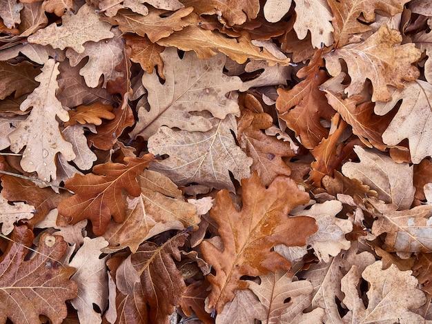 Feuilles de chêne sec.