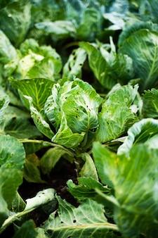 Les feuilles de chou bouilli sont endommagées par les parasites. destruction des récoltes par le chou ver du chou