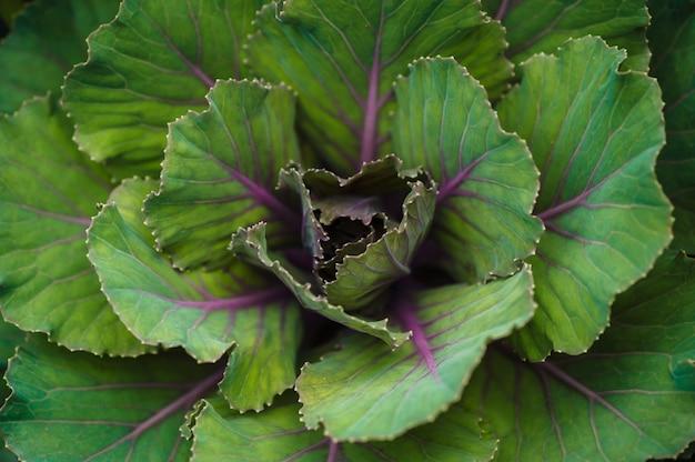 Feuilles de chou vert avec des veines pourpres vue de dessus gros plan.