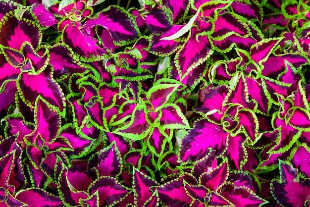 Feuilles de coleus aussi appelé ortie peinte, ortie de flamme