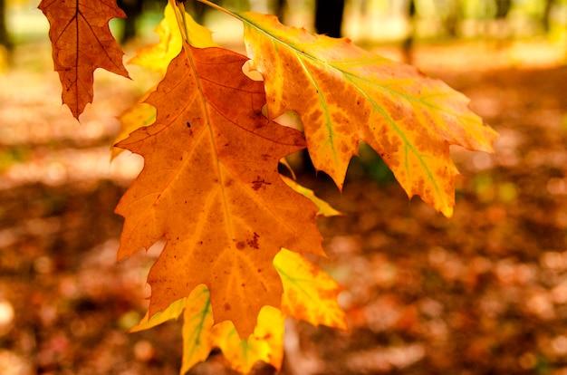 Feuilles colorées en automne, parc forestier, vue rapprochée