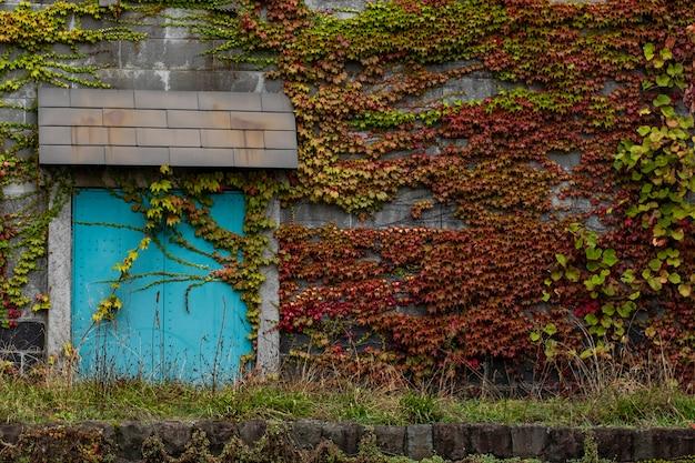 Feuilles colorées grimpant sur une paroi rocheuse à sapporo, hokkaido, japon