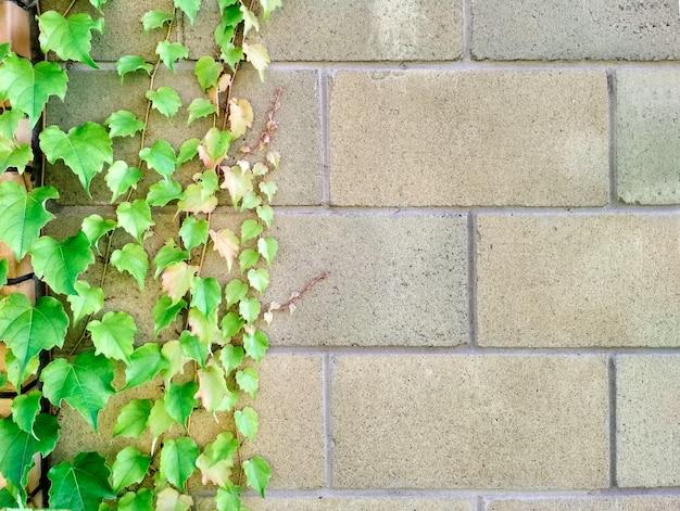 Feuilles colorées lumineuses de lierre sauvage de raisins sur le fond en pierre