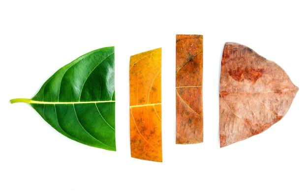 Feuilles de différents âges d'arbres fruitiers.