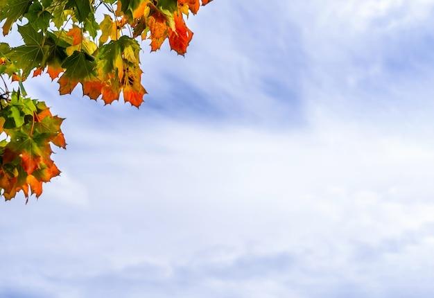 Feuilles d'érable d'automne avec le ciel bleu et blanc pourrait, arbre de branches avec feuillage d'automne vert, jaune, orange et rouge en face de pourrait ciel.feuilles de couleur vive en automne avec espace de copie