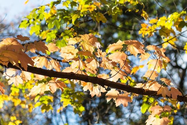 Feuilles d'érable automne dans le jardin botanique