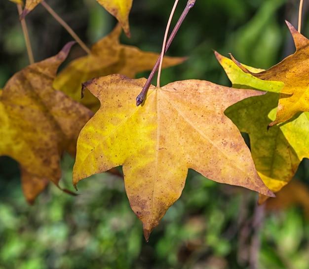 Feuilles d'érable automne jaune-orange