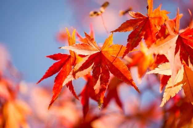 Feuilles d'érable d'automne