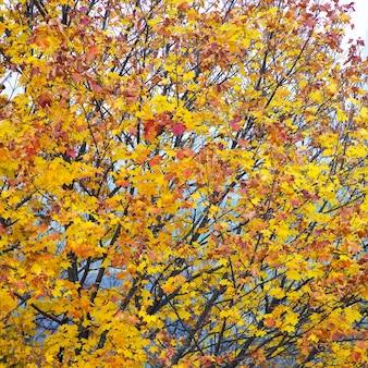 Feuilles d'érable aux couleurs vives sur le ciel. feuilles d'érable d'automne