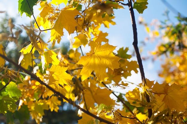 Feuilles d'érable chaudes automne coucher de soleil arbre floue