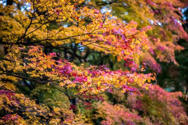 Feuilles d'érable colorées au japon. (flou artistique)