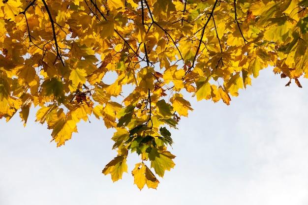 Feuilles de l'érable complètement jaunies sur les branches avant la chute au sol la spécificité de l'automne, certaines feuilles sont vertes