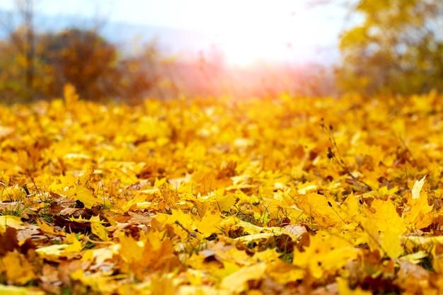 Feuilles d'érable dans la forêt au sol en plein soleil