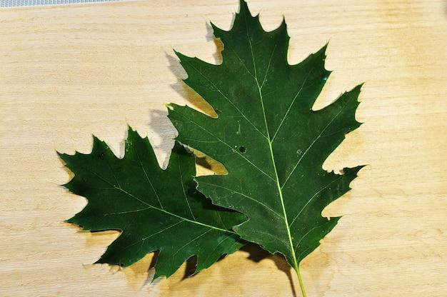 Feuilles d'érable sur fond clair. deux feuilles vertes se bouchent. arrière-plan, texture.