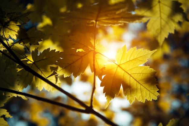 Les feuilles d'érable jaune brillent au soleil