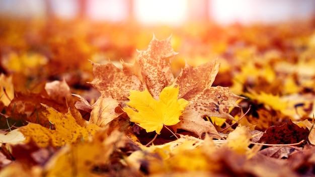Feuilles d'érable jaune dans la forêt au sol dans la forêt d'automne dans des tons chauds d'automne en plein soleil