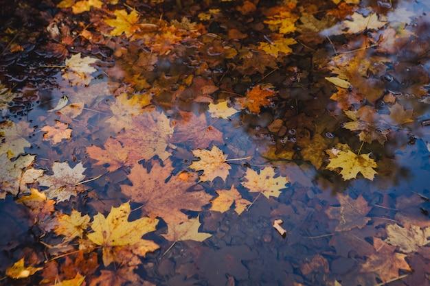 Feuilles d'érable jaune flottant dans l'eau. espace de copie
