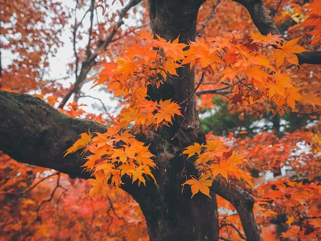 Feuilles d'érable jaune orange gros plan sur les branches d'arbres, fond d'automne coloré