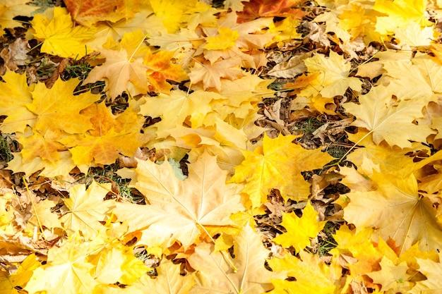Feuilles d'érable jaunes, parc d'automne, temps d'automne doré, les feuilles jaunes sur les branches, à propos de l'automne, thème d'automne, design, créativité