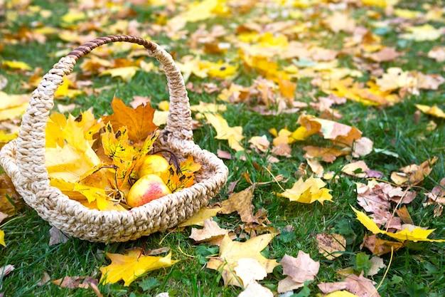 Feuilles d'érable jaunes sèches tombées dans un panier en osier et sur l'herbe, pommes mûres - une ambiance d'automne. fête de la moisson. espace de copie. tapis fait de chute de feuilles.