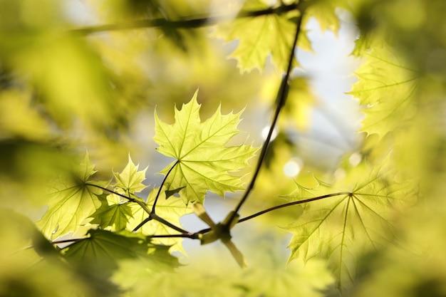 Feuilles d'érable de printemps dans la forêt