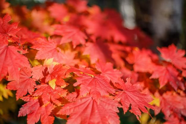 Feuilles d'érable rouge en automne avec un arrière-plan flou, pris au japon.