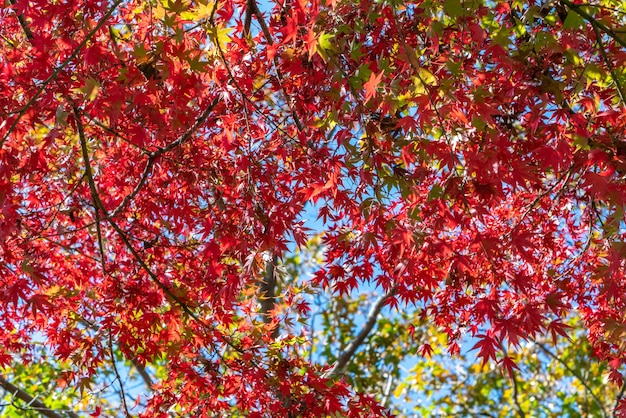 Les feuilles d'érable rouge graduelles dans le parc