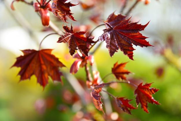 Des feuilles d'érable rouges gisent sur le sol et autour du tronc d'un jeune tronc de bouleau.