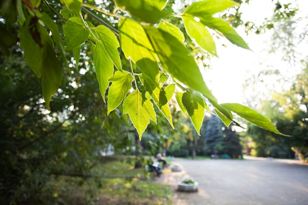 Feuilles d'érable, soleil couchant en été, été et verdure