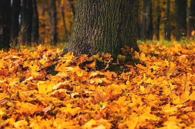 Feuilles d'érable tombées près d'un tronc d'arbre, fond d'automne