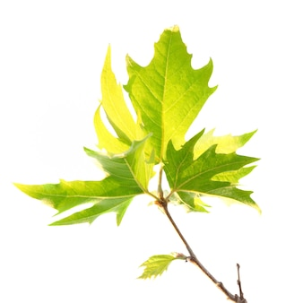 Feuilles d'érable vert avec branche isolée.