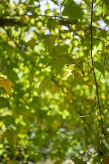 Feuilles d'érable vert en hiver et ciel bleu