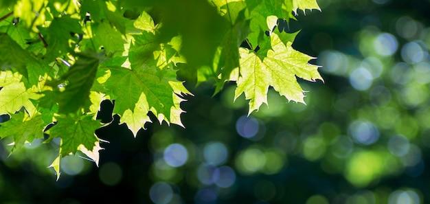 Feuilles d'érable vert en plein soleil sur un arrière-plan flou foncé avec un beau bokeh
