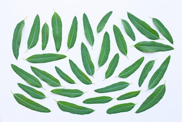 Feuilles d'eucalyptus sur blanc.