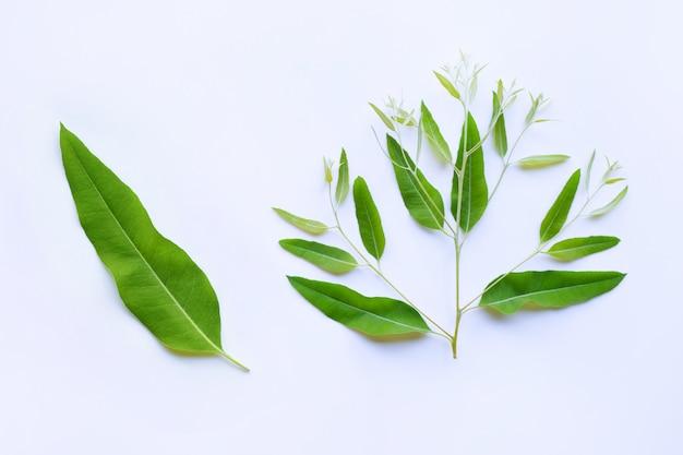 Feuilles d'eucalyptus et branche sur blanc