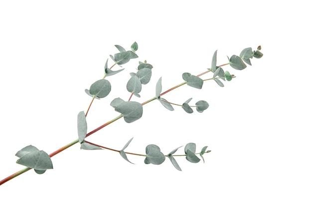 Feuilles d'eucalyptus branche verte fraîche avec feuillage isolé