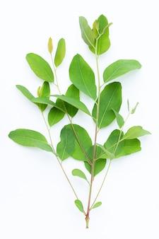 Feuilles d'eucalyptus sur surface blanche