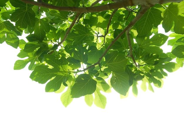 Feuilles de figuier vert avec branche isolé sur fond blanc.