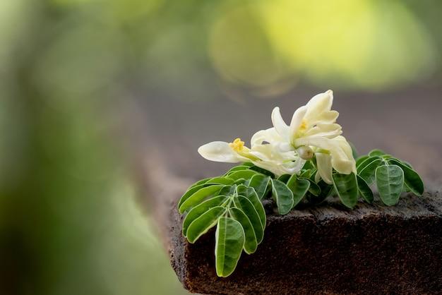 Feuilles et fleurs vertes de moringa sur la nature.