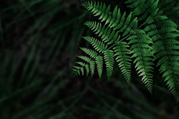 Feuilles de fougère fond vert foncé avec une faible profondeur de champ