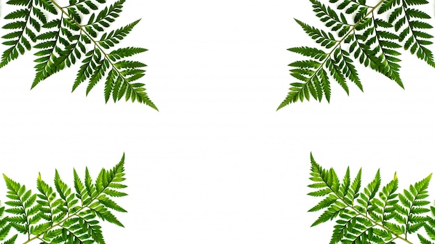 Feuilles de fougère verte isolés sur fond blanc