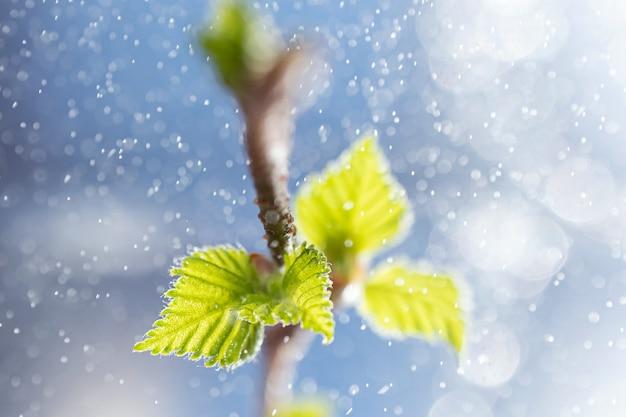 Feuilles fraîchement fleuries sur une branche d'arbre.