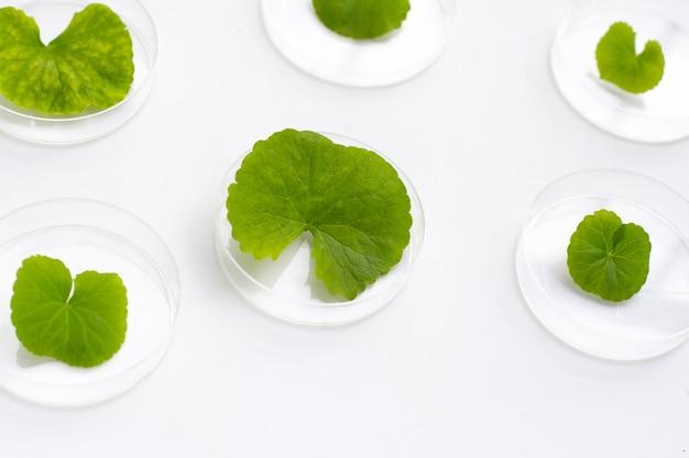 Feuilles fraîches de gotu kola dans des boîtes de pétri sur fond blanc.