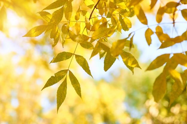 Feuilles de frêne jaune automne dans les rayons du soleil et ciel clair