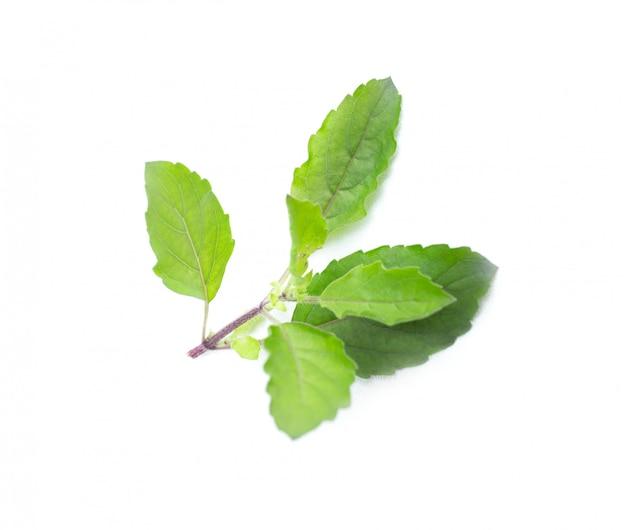 Feuilles d'herbe de basilic vert frais