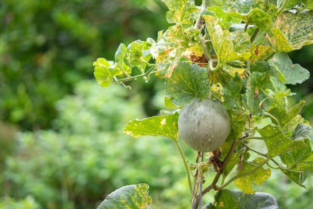 Feuilles de jardin de melon affectées par le mildiou. concept d'agriculture.